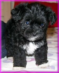 Morkie puppies for sale, Colors and Yorkie on Pinterest