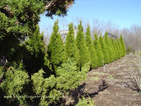 cedar trees as windbreaker, lowers heating cost. figure out mature height and plant twice that distance away from your house.
