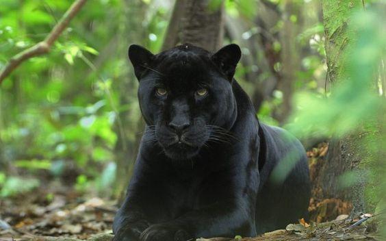 Black Panther Cat Wallpaper