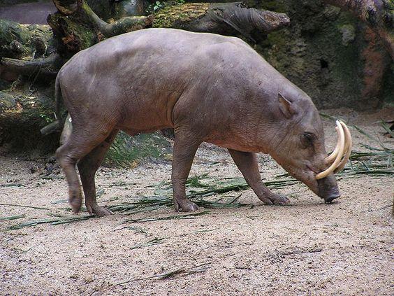 """Le babirusa ressemble à un porc. Mais certains scientifiques le rattachent également à la famille des hippopotames. Il vit en Asie, principalement dans les îles indonésiennes.  Babirusa signifie """"porc-cerf""""."""