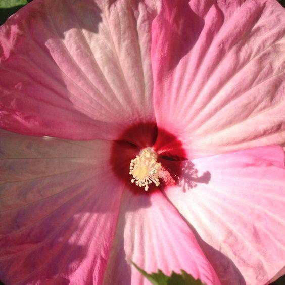 Pink Swirl Hardy Hibiscus