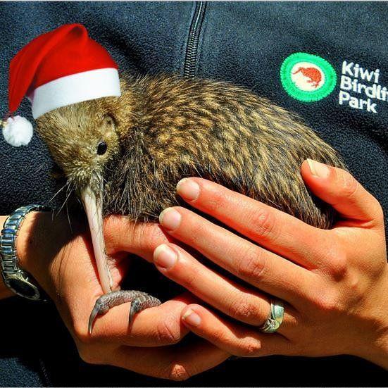 "Kiwi Birdlife Park Queenstown on Instagram: ""Merry Christmas to"
