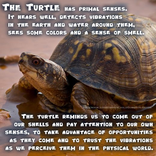 12 best images about Turtle Totem on Pinterest Box turtles, Wisdom