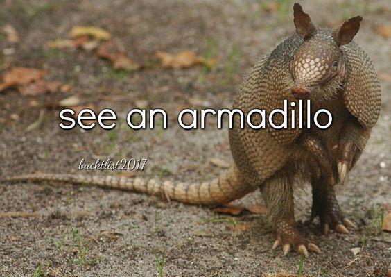see an armadillo: