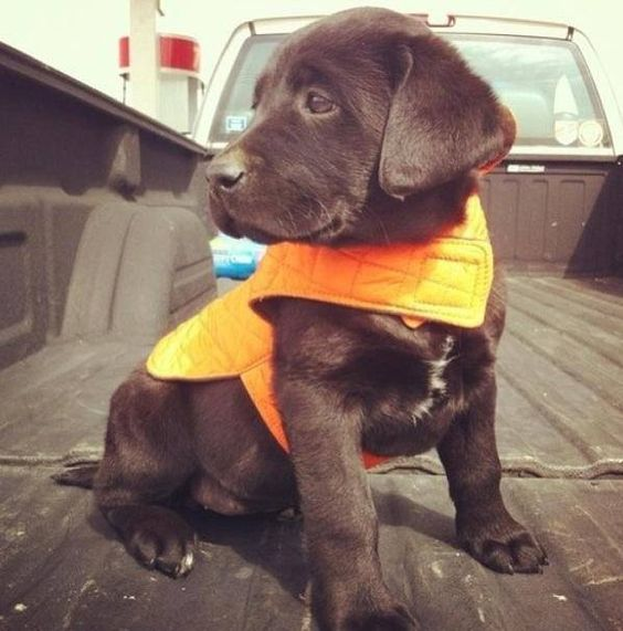 Chocolate lab hunting puppy | Puppies | Pinterest | Vests ...