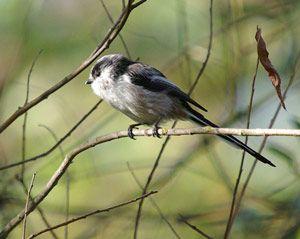 nous avons compl t notre article avec le roitelet hupp un tr s petit oiseau remuant que les. Black Bedroom Furniture Sets. Home Design Ideas