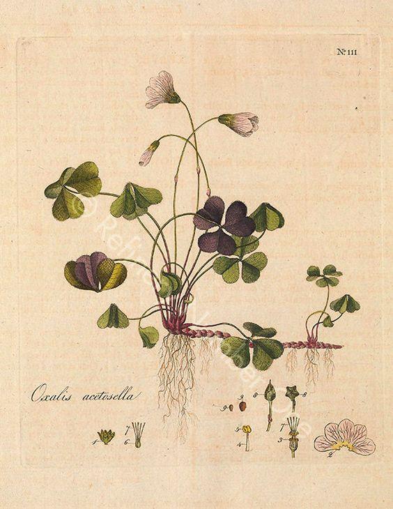 "Botanical illustration ""Wood Sorrel"" print, printable artwork, printable wall art, wall decor, floral wall art, 8x10 by RefineryNumberOne on Etsy"