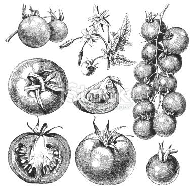 Tomatoes. Royalty Free Stock Vector Art Illustration