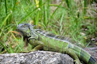 Iguane - Morikami Museum and Japanese Gardens #Floride #USA