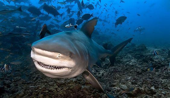 Le requin bulldog (bullshark): le plus dangereux de tous, il peut attaquer dans un mètre d'eau, et est principalement présents dans les eaux tièdes. Très agressif, il peut remonter les rivières (il tolère l'eau douce, il y a même eu des attaques dans le Gange en Inde). Certains ont étés aperçus à 30km dans les terres lors des inondations dans le Queensland en janvier 2011