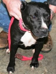**$100 SPONSORSHIP**    ELISTED FOR 2/3/12    INTAKE: 12/3/11  ACO  BLACK AND WHITE PITTIE  ROCKY  2 YR OLD, 40 LB, MALE    I AM A VERY OBEDIENT DOG THAT LOVES TO GO FOR WALKS WITH MY PERSON. I AM GREAT ON A LEASH AND LOVE TO PLAY! I AM ONLY 2 YRS OLD AND WOULD LOVE TO FIND A FOREVER HOME - I PROMISE I WON'T DISAPPOINT YOU! ID #K4    ***********************    THE POLICY AT THE SHELTER: ANY ANIMAL AT THE COUNTY SHELTER IS AT RISK OF BEING EUTHANIZED 30 DAYS AFTER INTAKE, OR SOONER IF SPACE…