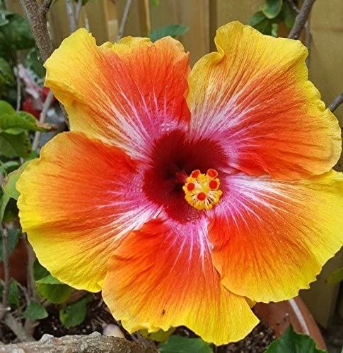 Hibiscus 3 Gallon Live Plant Pink Red Or Fiesta Multi Color Blooms In 2020 Hibiscus Plant Hibiscus Tree Hibiscus Tree Care