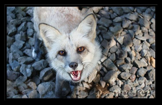 Razz the rescued fox. Photo by Maggie