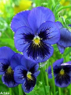 Pansies - Google Search: