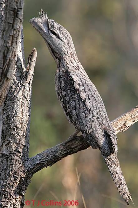amuflagem incrível do Podargo australiano (Podargus strigoides); possuem hábitos noturnos e conseguem passar horas paradas, com o bico virado para cima, se camuflando com troncos de árvores. Essas aves (da família Podargidae) são muito parecidas com o nosso Urutau (família Nyctibiidae).