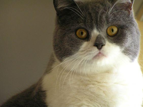 british shorthair kitty