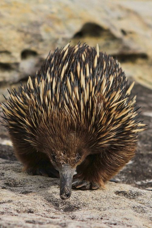 Echidna | animals | Pinterest | Mammals, Hedgehogs and Eggs
