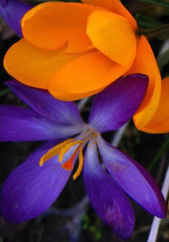 Krokusse in Gelb und Violett <3