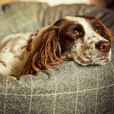 Spaniel and tweed