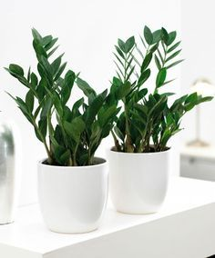 Zamioculcas zamiifolia - tolerates low light, low watering and low attention. Also known as Zanzibar Gem, ZZ Plant & Eternity Plant