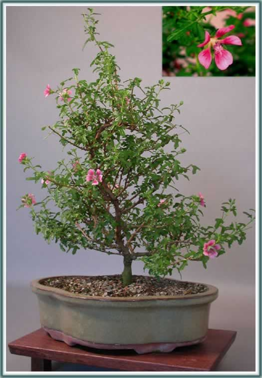 Online Catalog Meehan S Miniatures Bonsai Starters Rare And Miniature Plant Material And Wholesale Bonsai Plants Plantas Jardineria