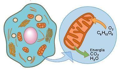 Definicion De Respiracion Celular Respiracion Celular Origen De La Celula Respiracion