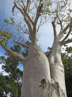 Baobab, or Boab tree, Perth Botanic Gardens