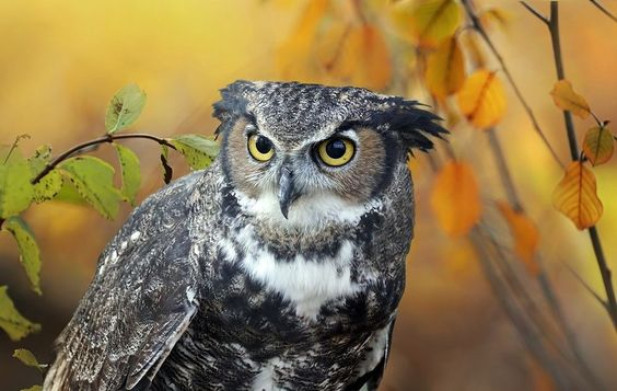 Great horned Owl  Animals photo by ikord http://rarme.com/?F9gZi