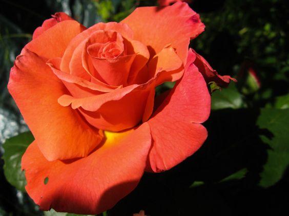 monday verse - go. lovely rose