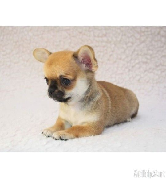 Chihuahua Puppies For Sale In Texa Chihuahua Puppies For Sale In