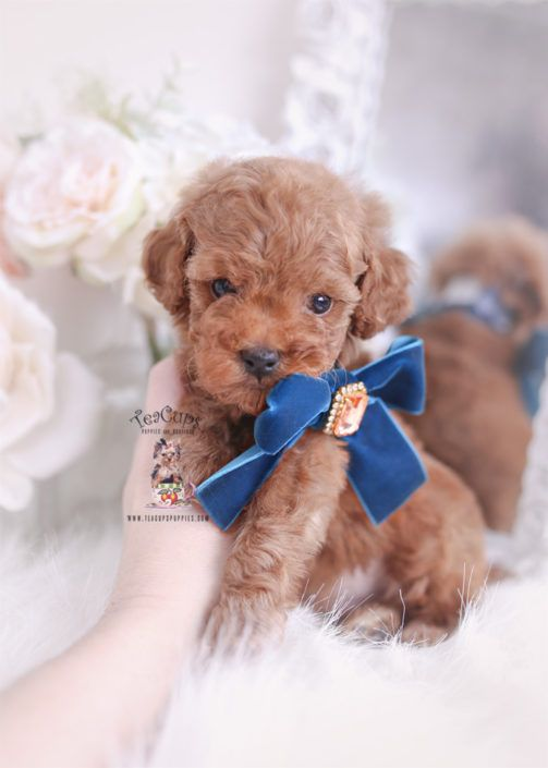 Red Toy Poodle Puppies Miami Florida 008 A Toy Poodle Puppies
