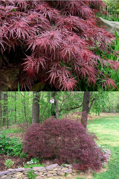 Buy Crimson Queen Dwarf Japanese Maple Tree For Sale Online From