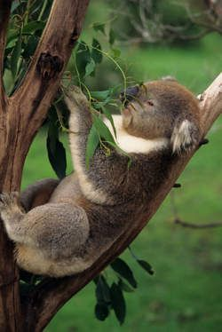 Koala is nearly extinguished, caused by tree cutting, forest fires and illness. Solution: plant eucalyptus trees