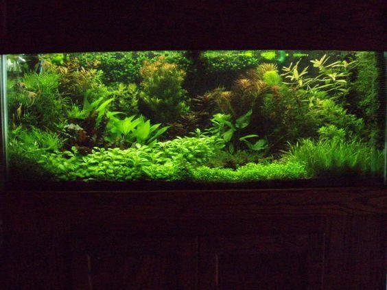 75g dutch planted tank my aquarium pinterest dutch