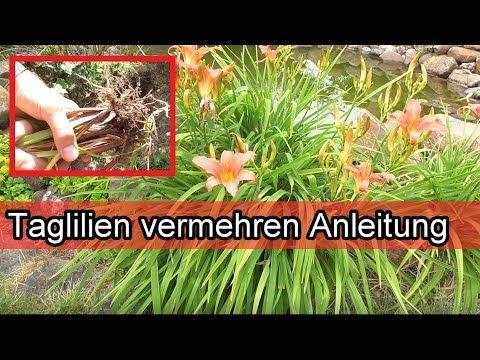 Taglilien Selber Ziehen Taglilien Durch Teilen Selbst Vermehren Anleitung Youtube Taglilien Lilien Anleitungen