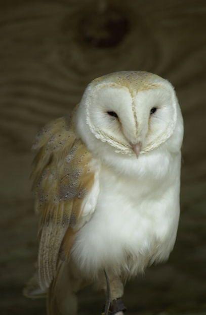 Sleepy owl...