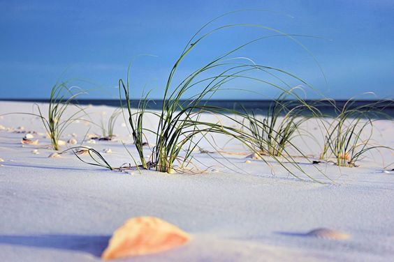 Image detail for -sea oats just at the edge of the dunes emerging from the wind swept ...