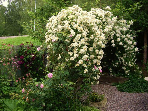 Rosa helenae #gardenrooms