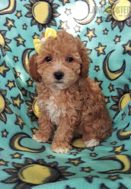 Makena Bichpoo Puppy For Sale In Nottingham Pa Lancaster