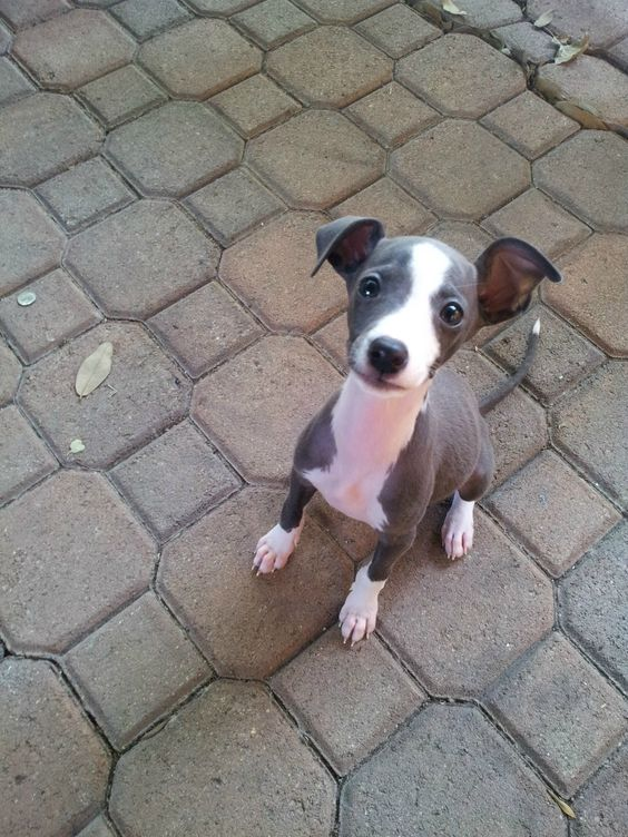 Our puppy will be an Italian Greyhound
