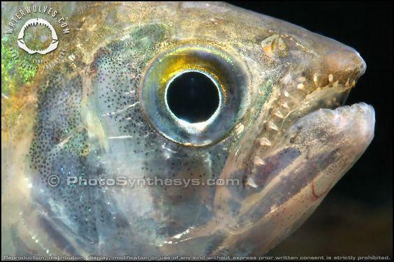 Exodon Paradoxus - Bucktooth Tetra TEETH closeup