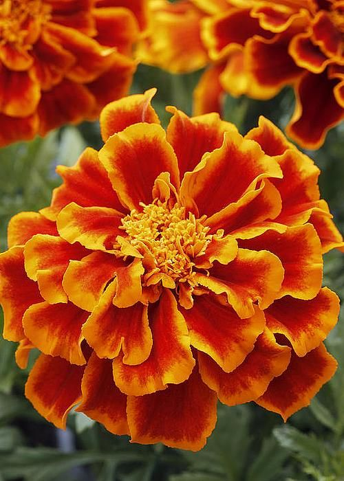 marigold orange flowers marigold durango flame flowers pinterest for sale 661