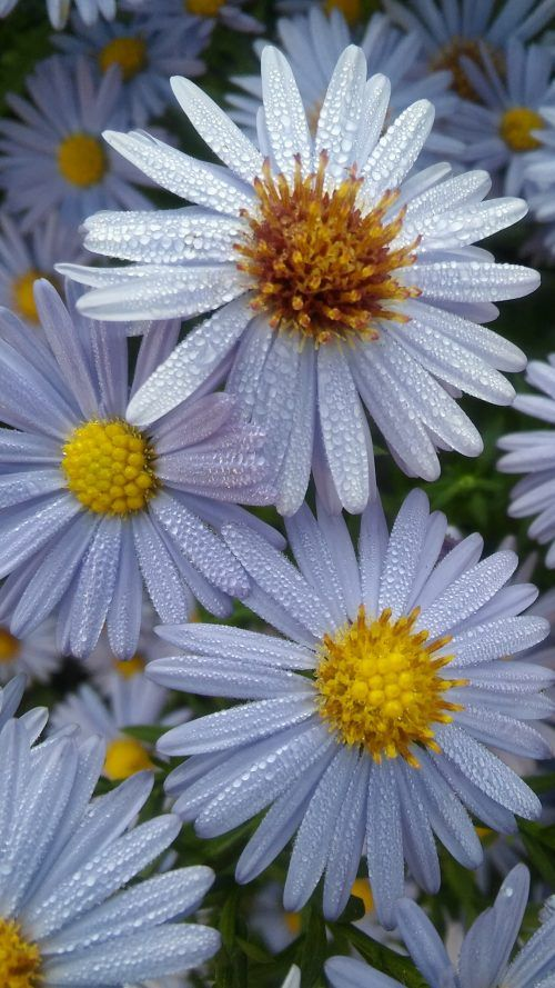 Cool Phone Wallpapers With White Daisy Flower And Water Dropped