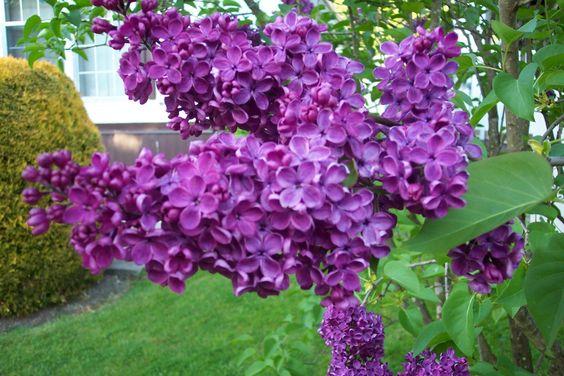 Lilac Bushes lining backyard