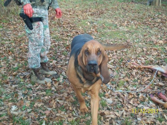 Our hunting dog...Ben....our beautiful bloodhound.