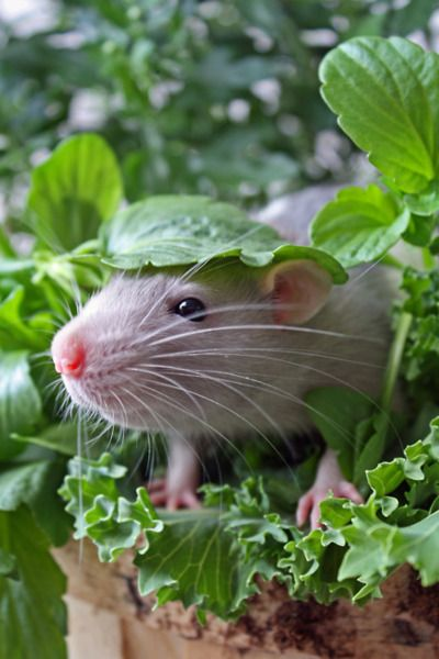 So cute... I love rats... The domestic pet variety, not the wild ones. They make super sweet pets.