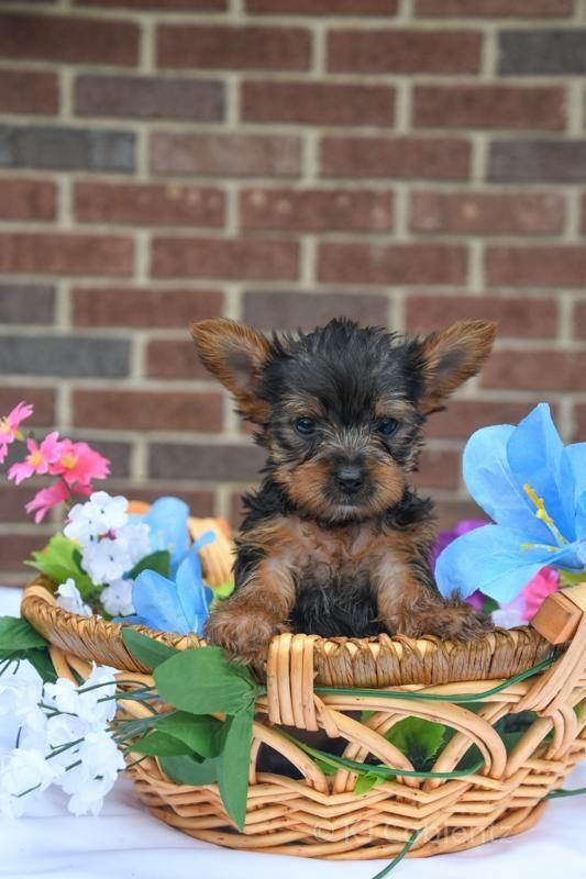 Ollie Male Yorkie Full Price 765 00 Deposit Cute Puppy Breeds Yorkshire Terrier Puppies Yorkie Puppy