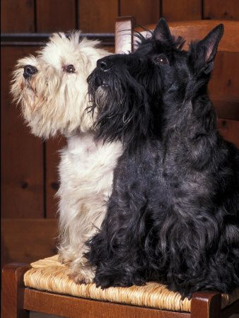 Domestic Dogs, West Highland Terrier / Westie Sitting on a ...
