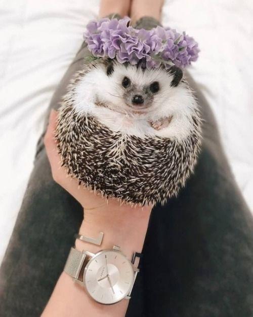 hedgehog | Tumblr
