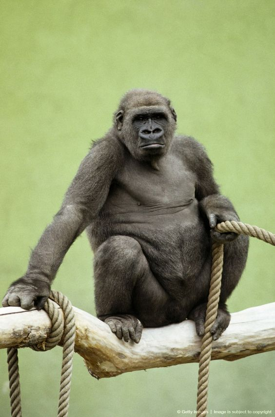 Image detail for -Gorilla with a rope